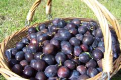 How to make Damson Cheese